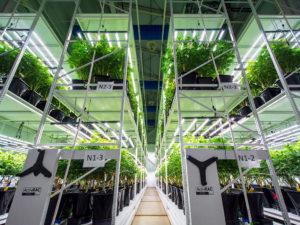 Cannabis yield storage